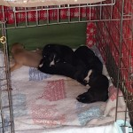 Snoozing pups - but where's the little white girlie?