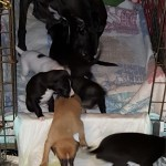 Good puppies learning to climb out of the crate to potty