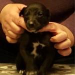 Pup 3, girl