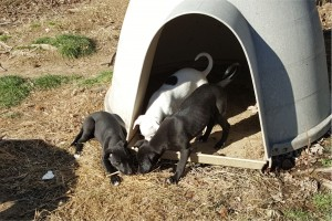 "Una, Dottie, and Lightning Bug, finding things to sniff and chew on around the ""play house""."