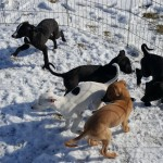 Black pups: Boomer, Selah, Hero: with Dottie and Rex
