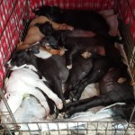 It was getting mighty crowded in the big crate, but this was the last night for all seven pups to cuddle up in it.