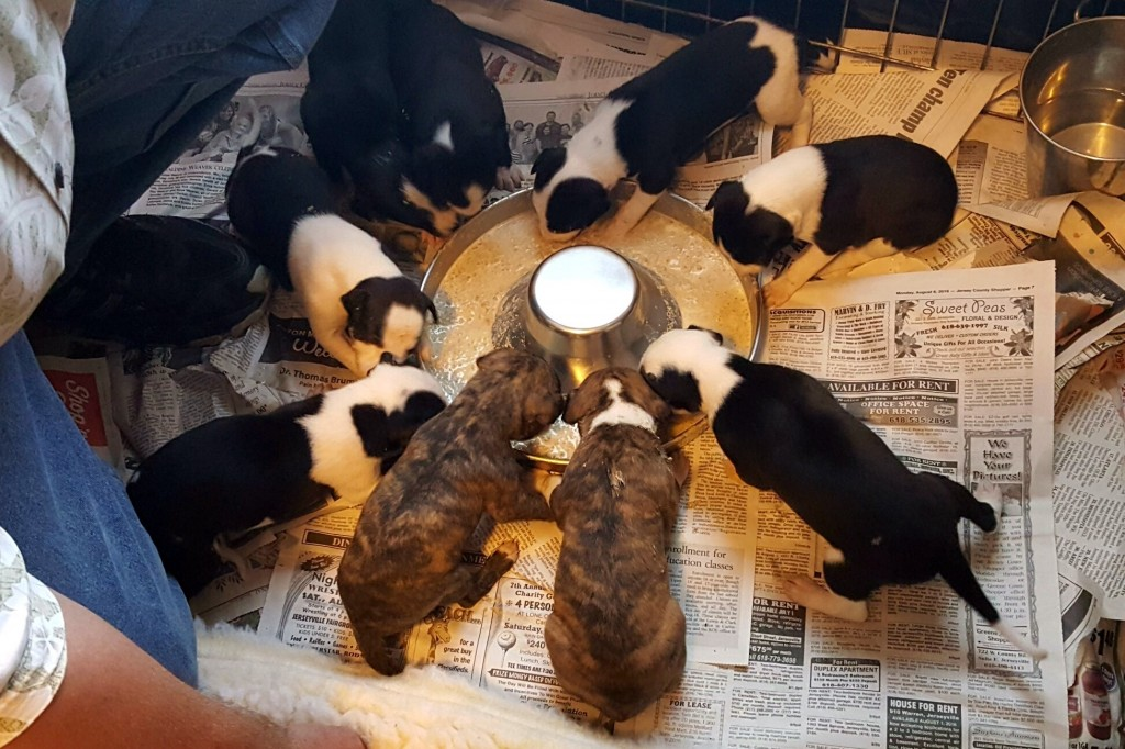 We started supplementing the puppies' diet with a soft mush of ground kibble and warm goat's milk a bit earlier than usual, but they took to it very quickly! Yum! 8/15/16