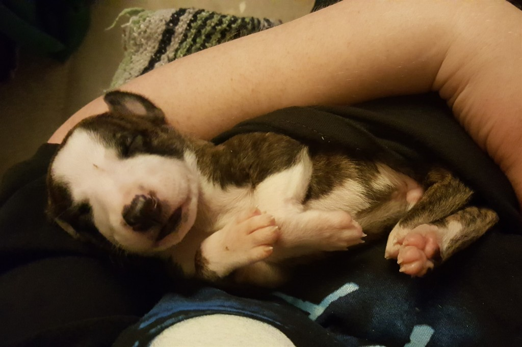 Cuddle time with Pup #9 - LOVE it! 8/15/16