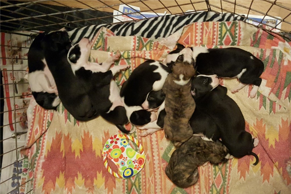 They still spend a lot of time sleeping in cozy piles of adorableness. Pup #1 is in the center, and you can see the bat symbol pretty well here. 8/18/16