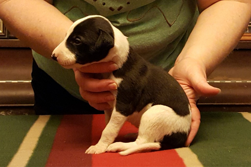 """Pup #1, boy, """"Batman"""" The marking across his rump started us thinking about this theme."""