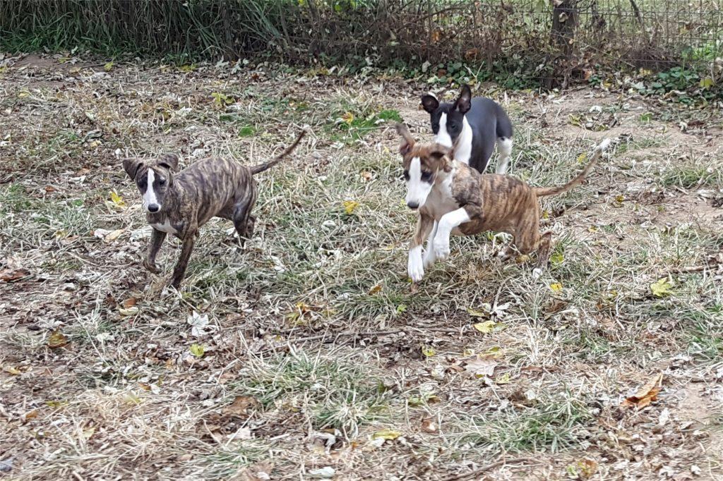 Kara, Clark, and Wonder chasing a lure - what fun!