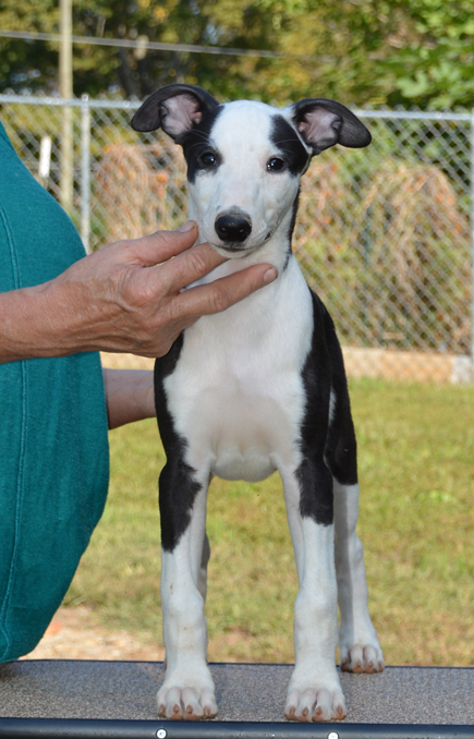 Spidey is looking for the right home, and hopes to be a showdog and a racer/courser!