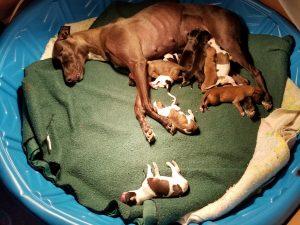 New mama and NINE beautiful pups!!!