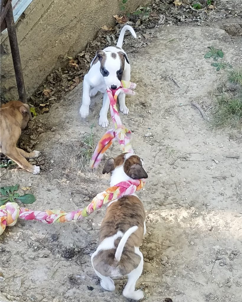 Brindle & white tug-of-war