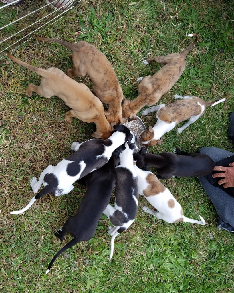 At 7 weeks, 2 days old, the pups enjoy a meal al fresco at a race meet.