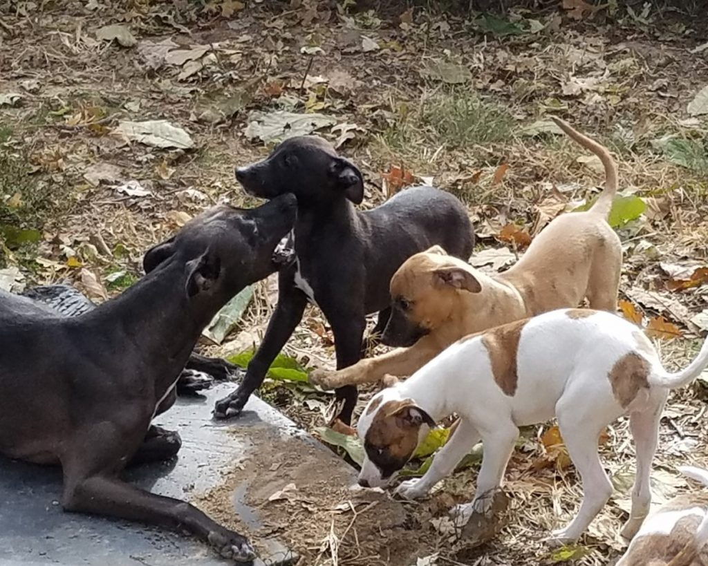 Jasmine still enjoys playing with her pups. Here she is with Crock, Bob, and Angel.